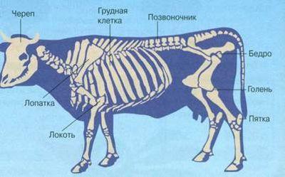 Скелет животного и человека